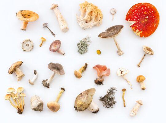 phytotherapie champignon